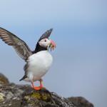 Lunnefågel med fisk i munnen - Foto: Viktor Sundberg