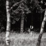 Hjort - Foto: Viktor Sundberg