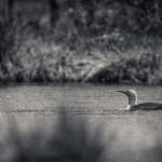 Smålom - Foto: Viktor Sundberg
