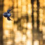 Smålom i morgonljus - Foto: Viktor Sundberg