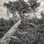 Liggande träd, Abisko - Foto: Viktor Sundberg