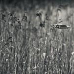 Hökuggla i flykt - Foto: Viktor Sundberg