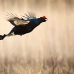 Orre i flykt - Foto: Viktor Sundberg