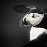 Lunnefågel - Foto: Viktor Sundberg