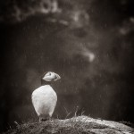 Lunnefågel i regn - Foto: Viktor Sundberg