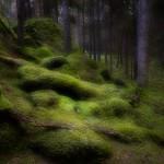 Risvedens gammelskog - Foto: Viktor Sundberg