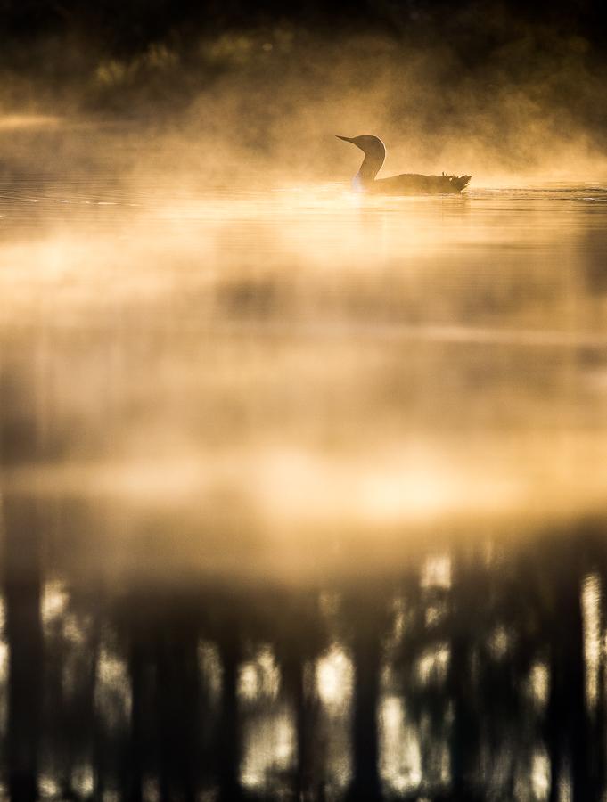 Smålom i morgondimma - Foto: Viktor Sundberg