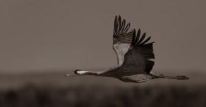 Flygande trana