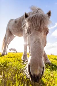 Den skånske hästen