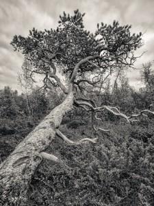 Tall, Abisko nationalpark - Foto: Viktor Sundberg