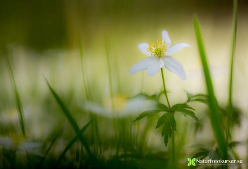 Vitsippa - Foto: Viktor Sundberg / Naturfotokurser.se