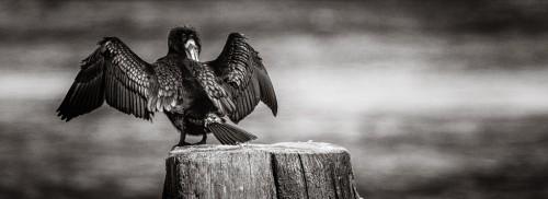 Storskarv torkar sina vingar - Foto: Viktor Sundberg