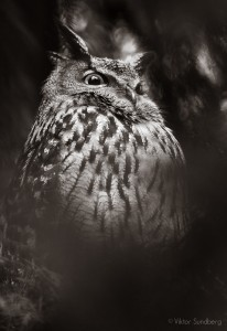 Berguv i svartvitt - Foto: Viktor Sundberg