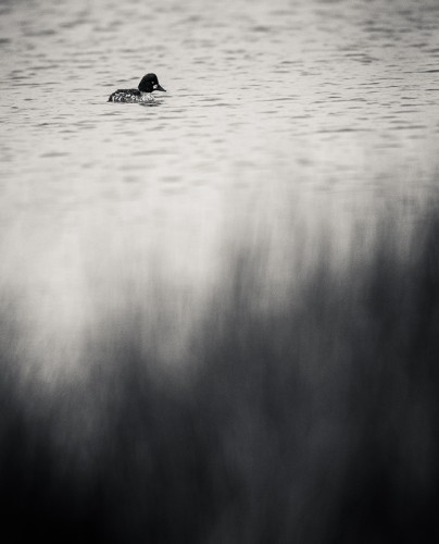 Knipa - Foto: Viktor Sundberg