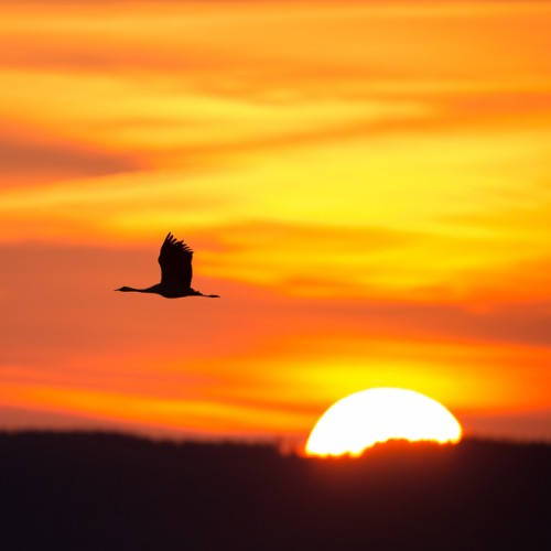 Trana i soluppgång - Foto: Viktor Sundberg