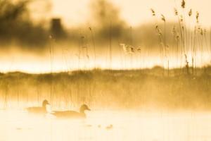Grågäss i morgondimma - Foto: Viktor Sundberg
