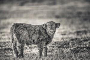Highland cattle - Foto: Viktor Sundberg