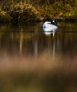 Spelande knipa - Foto: Viktor Sundberg