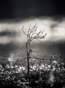 Spindelväv - Foto: Viktor Sundberg
