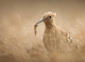 Härfågel - Foto: Viktor Sundberg
