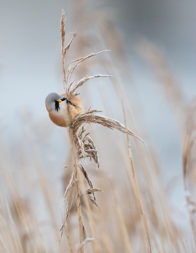 Skäggmes - Foto: Viktor Sundberg