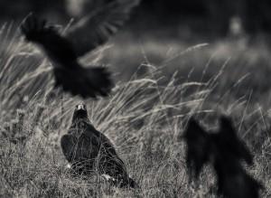 Kungsörnen håller koll på korparna - Foto: Viktor Sundberg