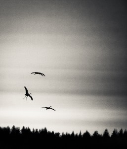 Tranor som landar - Foto: Viktor Sundberg