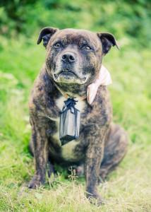 Hunden bär ringarna - Foto: Viktor Sundberg, bröllopsfotograf Göteborg